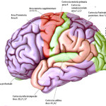 cervello1