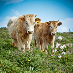 Light-brown cows in a field full of wildflowers.