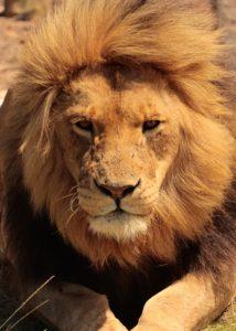 lion-1669839_1280